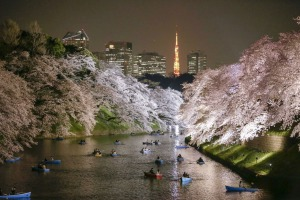 epaselect epa04686494 People rowing boats enjoy night view of cherry blossoms in full bloom on Chidorigafuchi moat in Tokyo, Japan, 30 March 2015 after the Meteorological Agency announced on 29 March cherry blossoms became in full bloom, five days earlier than average year. The warm weather with temperatures of up to 23.6 degrees Celsius prompted many people to enjoy viewing cherry blossoms with some drinks.  EPA/KIMIMASA MAYAMA